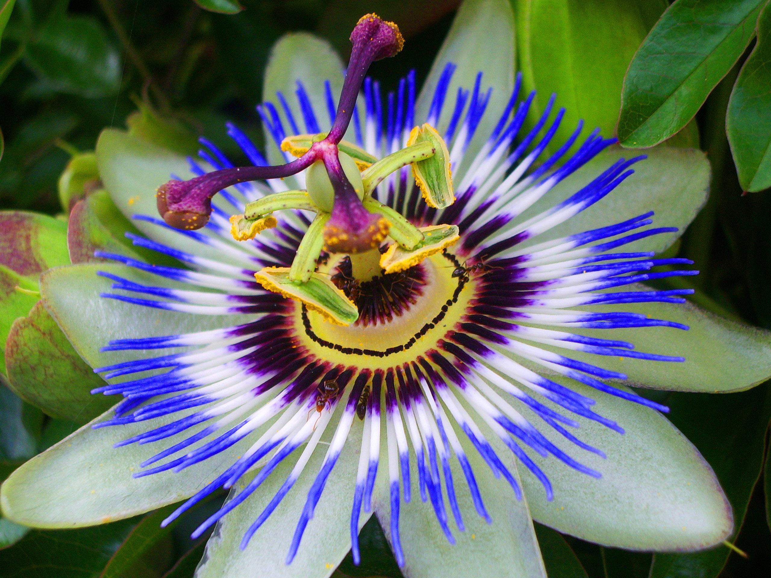 Passion flower sam w hitt medicinal plant gardens passion flower mightylinksfo